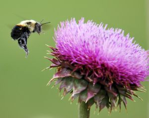 Pčela i cvet
